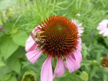 Zahlreiche Bienenarten leben sie.