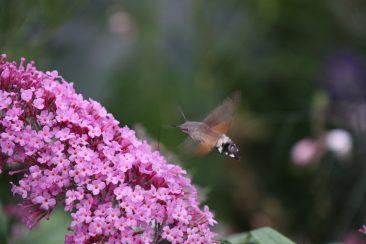 Ein Taubenschwänzchen am Sommerflieder. Übrigens: Es zählt zu den Faltern, auch wenn sich hartnäckig das Gerücht hält, es sei ein Kolibri. ;-)