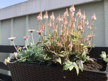 Fast alles hier Gezeigte kann auch im Topfgarten gepflanzt werden. So wie diese frühblühende Staude, die kleinwüchsige Schaumblüte. Sie findet sogar Platz im Balkonkasten.