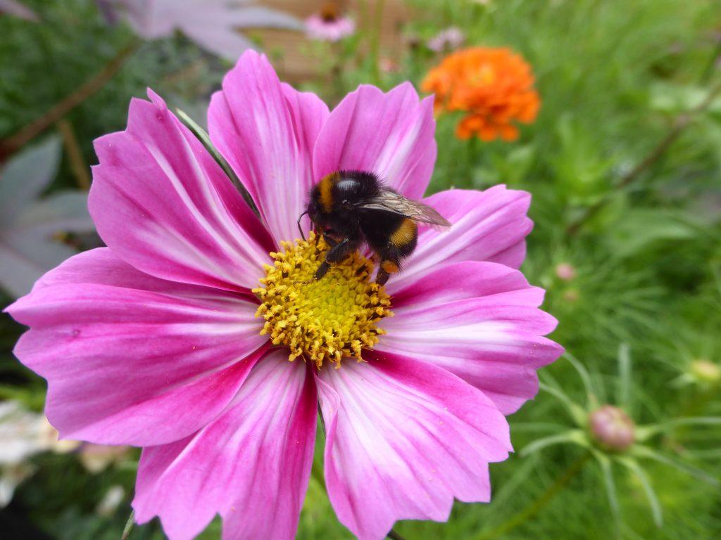 Bienenfreundliche Pflanzen, die Cosmeen/Schmuckkörbchen gehören dazu.