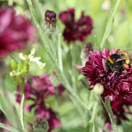 Studien zu Wildbienen zeigen: Hausgärten retten Bestäuber
