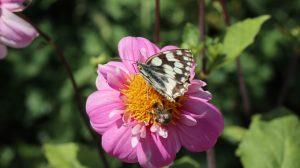 Schachbrett Schmetterling oder Tagfalter im Biogarten