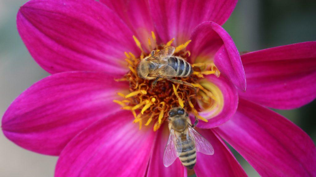 Schau- und Sichtungsgarten Hermannshof, nicht nur für Staudenfans ein Besuch wert. Bienen an offenblütiger Dahlie, ein toller Nektarspender