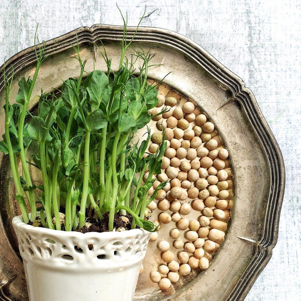 Micro Greens das Superfood zum Beispiel aus Erbsen