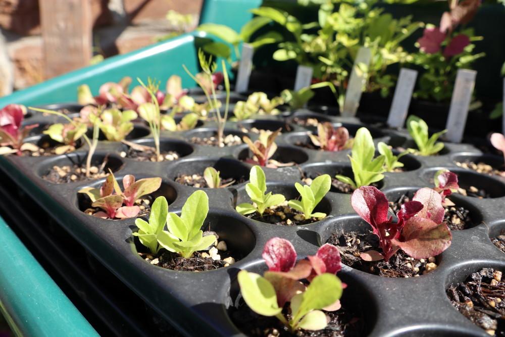 Salat, Gemüse und Sommerblüher vorziehen spart Wasser