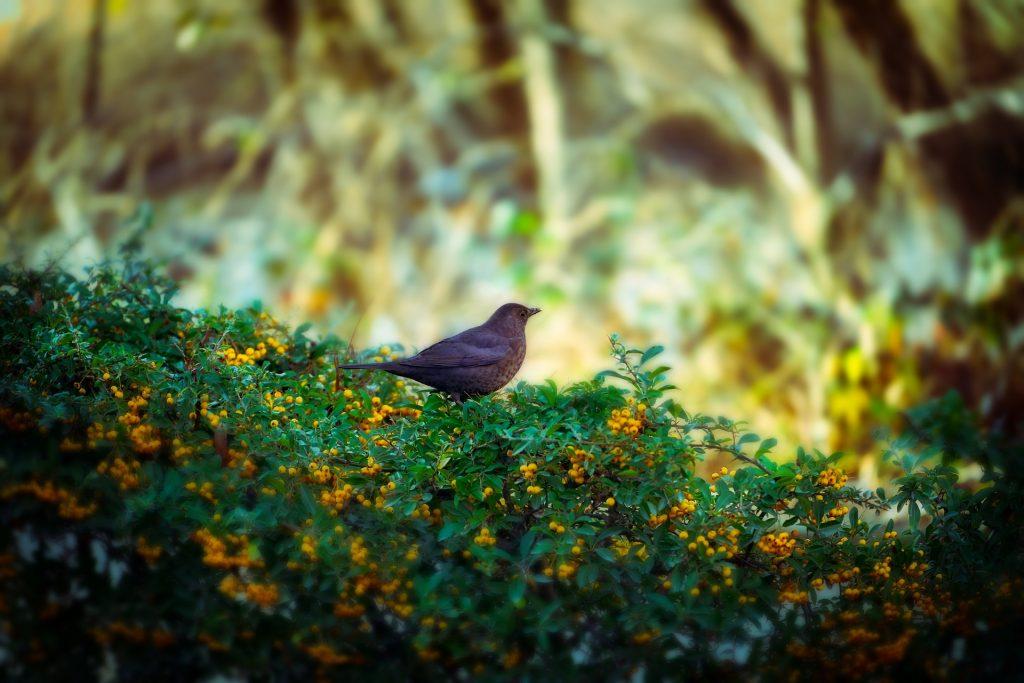 Kirschlorbeer Alternative vogelfreundliche Sträucher wie Vogelbeere