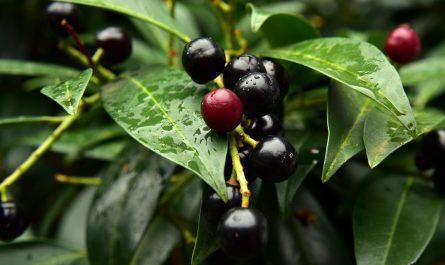 Kirschlorbeer oder Lorbeerkirsche kaufen pflanzen oder doch lieber entfernen