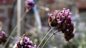 Blüten im Oktober Nektarpflanze Eisenkraut Verbena bonariensis