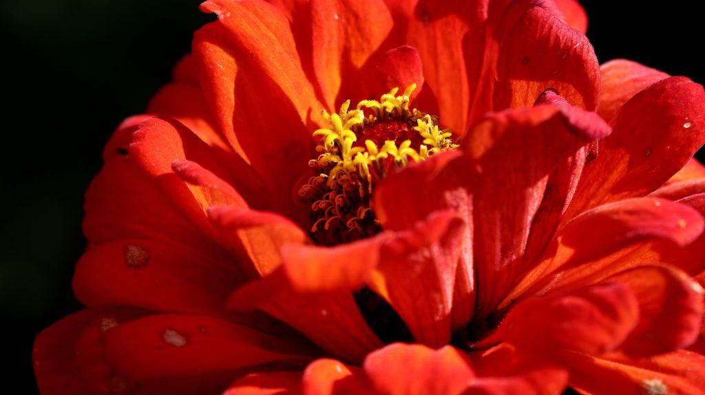 Blüten im Oktober Nektarpflanze im Herbst Zinnie Orange King