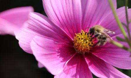 Blüten im Oktober und Nektarpflanzen im Herbst Ackerhummel an Cosmee