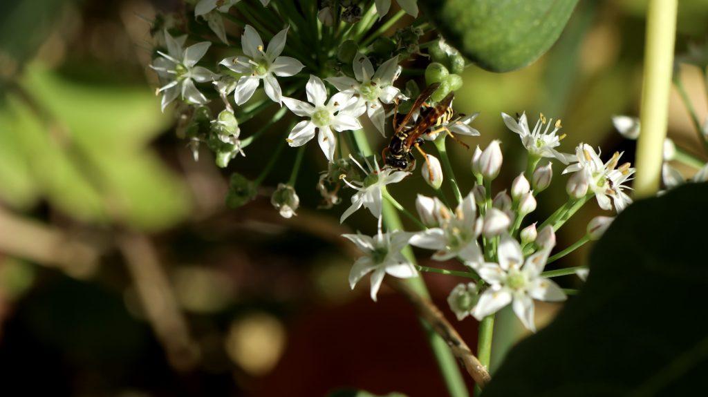 Blüten im Oktober Nektarpflanzen Allium Knobigras mit Wespe