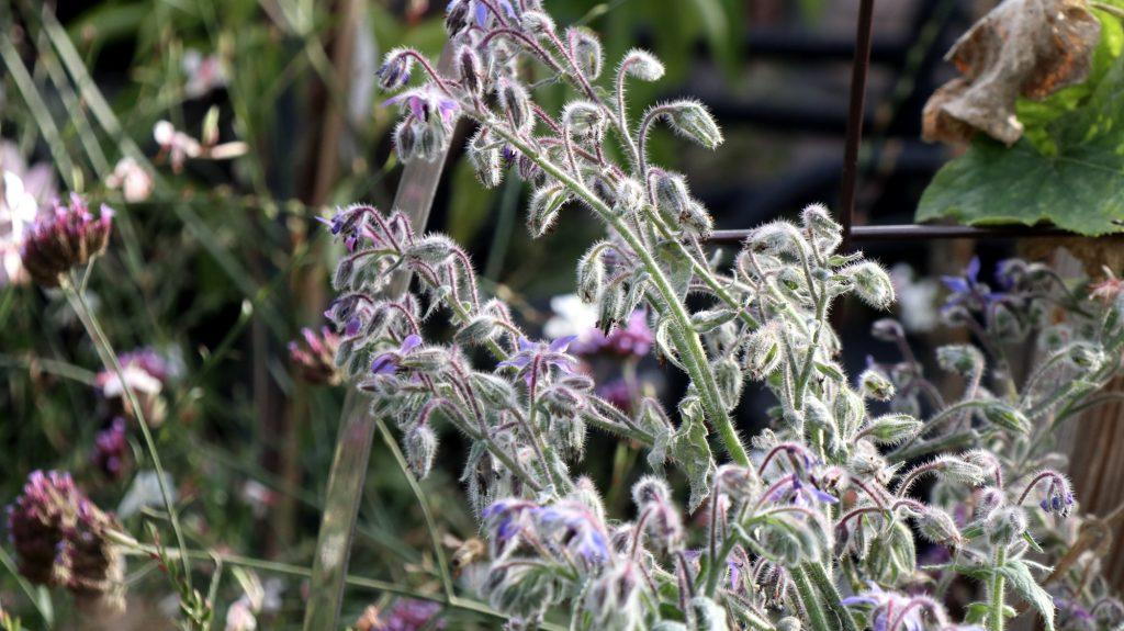 Blüten im Oktober Nektarpflanzen Borretsch