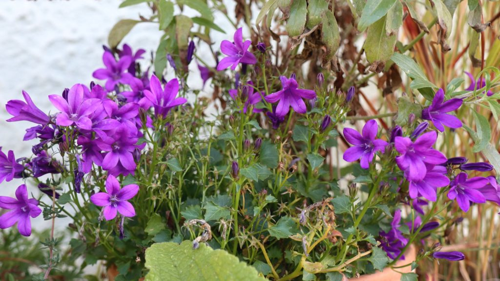 Blüten im Oktober Nektarpflanzen Glockenblume