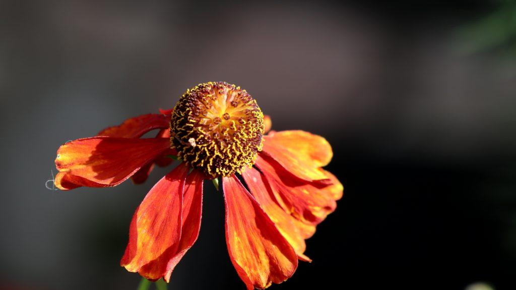 Blüten im Oktober Nektarpflanzen Helenium Sonnenbraut Baudirektor Linne klein