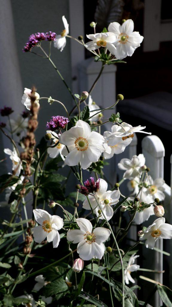 Blüten im Oktober Nektarpflanzen Herbstanemone