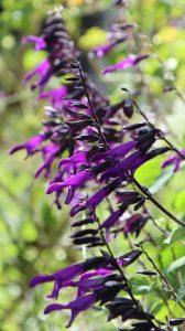 Blüten im Oktober oder Herbst Nektarpflanzen Salvia Amistad klein