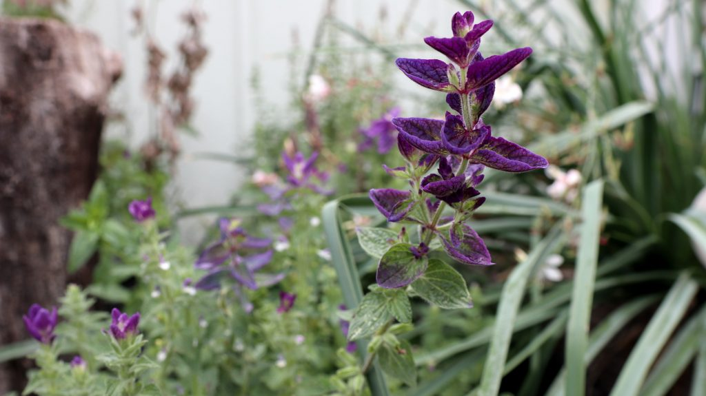 Blüten im Oktober Nektarpflanzen Schopfsalbei