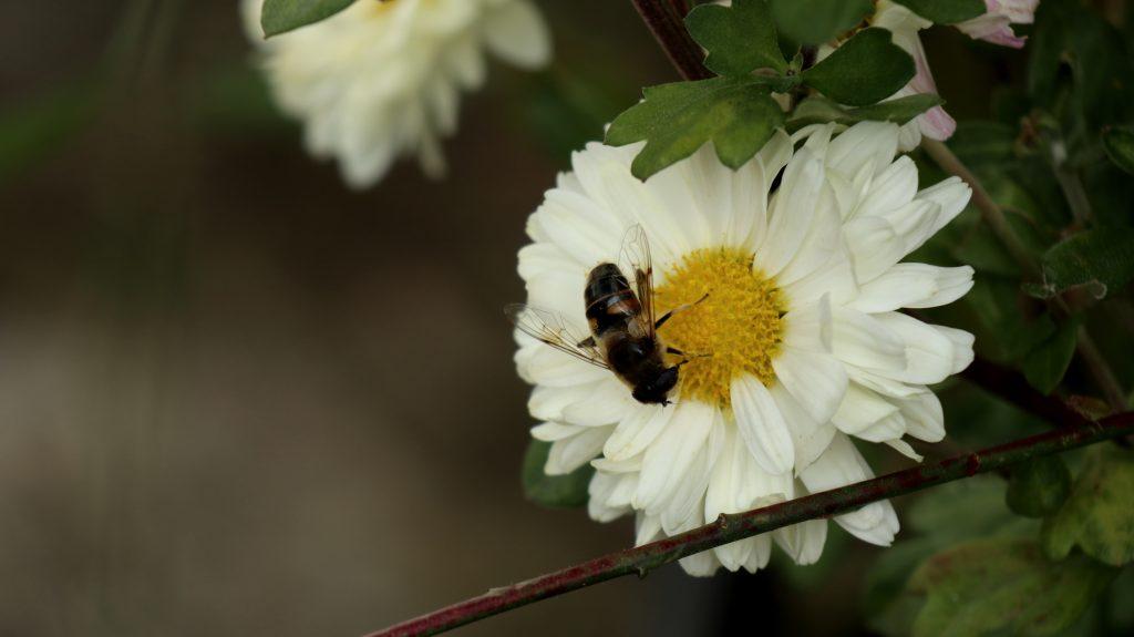 Blüten im Oktober Nektarpflanzen Schwebfliege an Herbstchrysantheme Winteraster