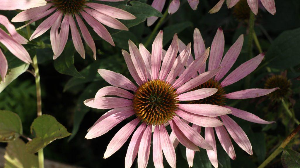 Blüten im Oktober oder Herbst Nektarpflanzen Echinacea