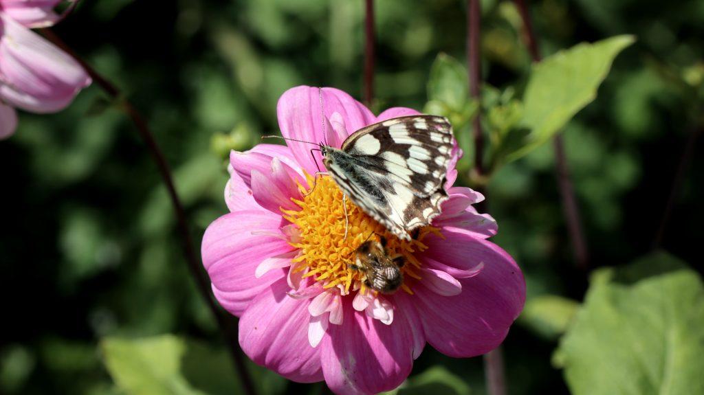 Schachbrettfalter und Biene auf Dahlie Dauerblüher bis Frost