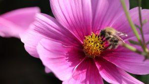 Blüten im Oktober Nektarpflanzen Ackerhummel an Cosmee (2)