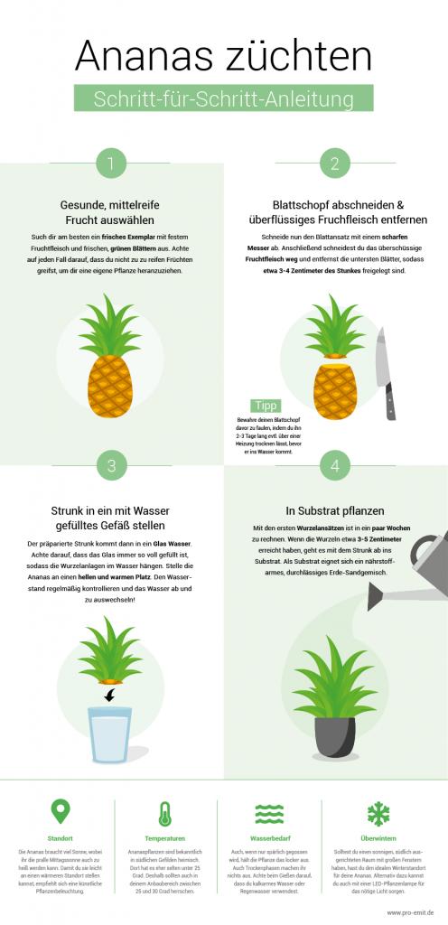 Ananas selber züchten aus der Frucht oder dem Blattwerk Anleitung