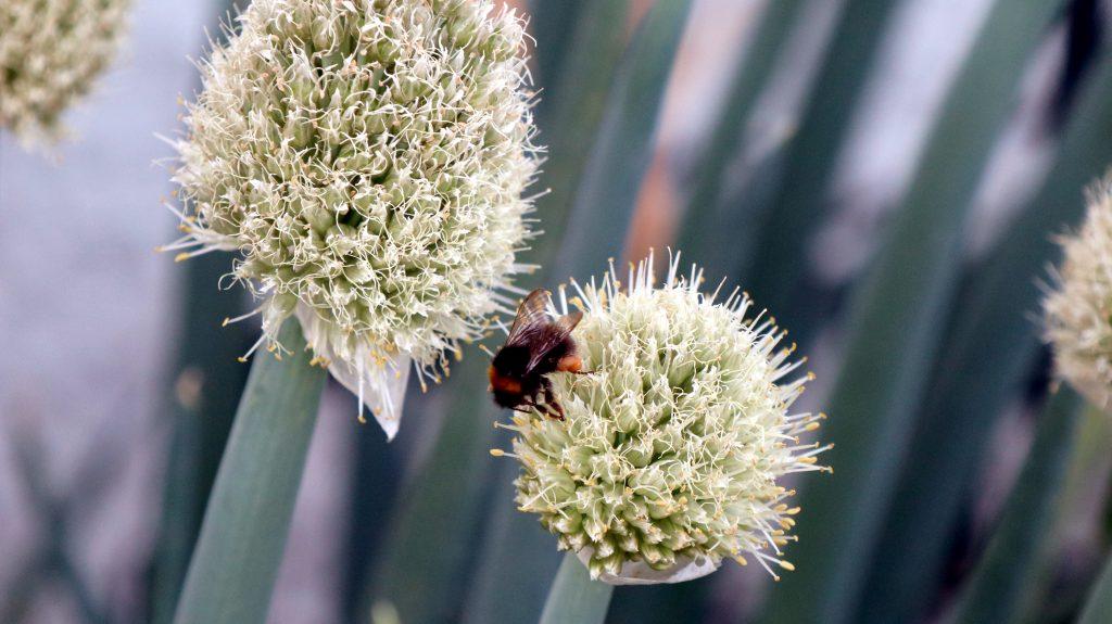 Allium sind tolle Nektarspender. Auch jene in der Gemüseabteilung wie Lauch, Schnittlauch oder, wie hier, die Winterheckenzwiebel